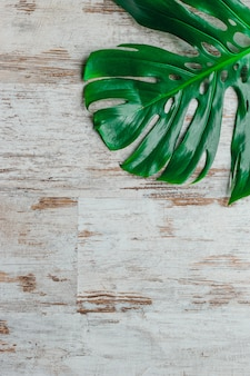 Monstera deliciosa, zwitserse kaasplant of orkaanblad op een sjofele witte achtergrond. minimalisme verse achtergrond.