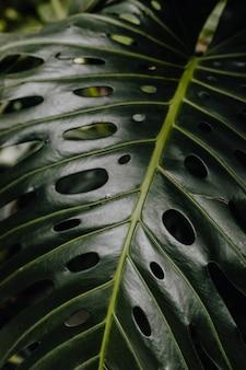 Monstera delicosa plant in de tuin