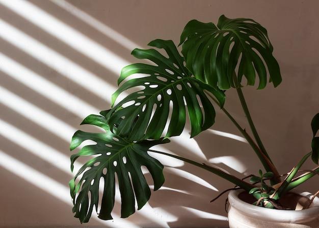 Monstera-plant in een witte pot wordt verlicht door licht vanuit een raam met schaduwrijke jaloezieën.