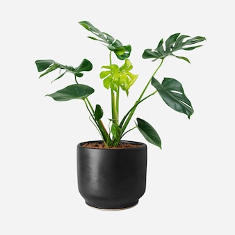 Monstera plant in een zwarte pot