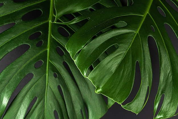 Monstera plant verlaat