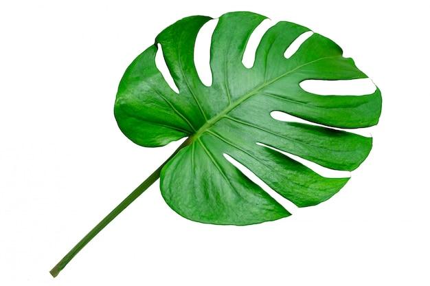 Monstera verlaat bladeren met isoleren op witte achtergrond bladeren op wit