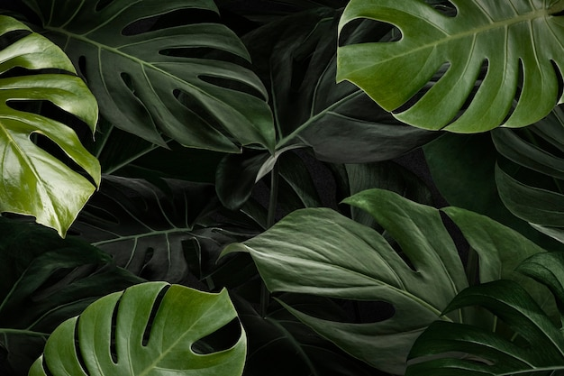 Monstera verlaat natuur achtergrondbehang