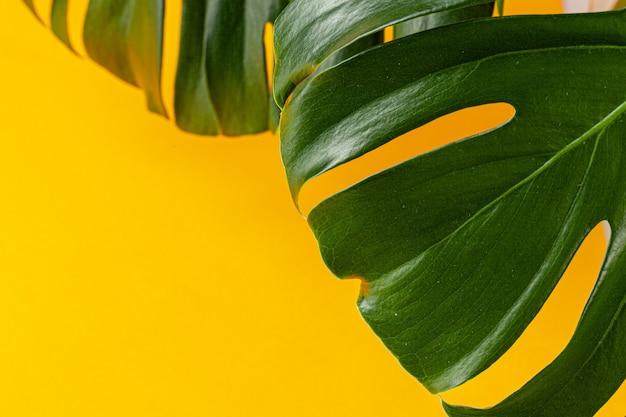 Monsterablad op een heldere gele achtergrond. plat liggen