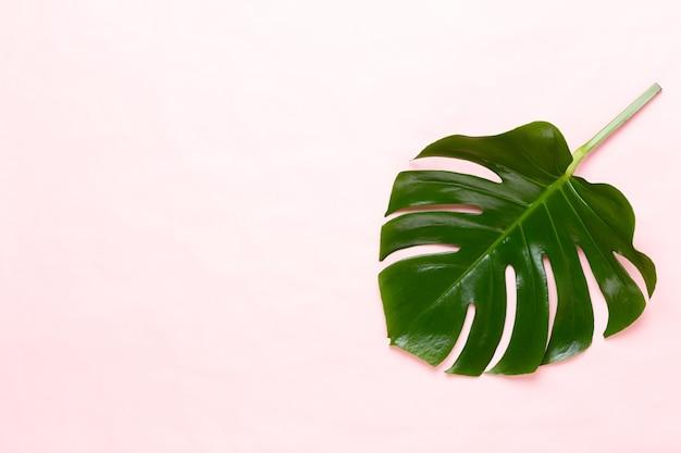 Monsterablad op kleur palmblad, echt tropisch oerwoudgebladerte zwitserse kaasplant.