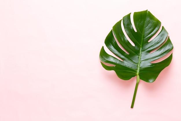 Monsterablad op kleurenachtergrond. palmblad, echt tropisch oerwoud gebladerte zwitserse kaasplant. plat leggen en bovenaanzicht.