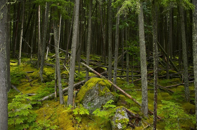 Montana mossy forest