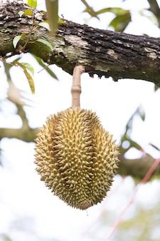 Monthong durian op boom, koning van fruit uit thailand