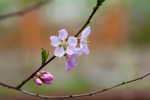 Mooi abstract beeld van tot bloei komende appeltak. verse witte roze bloemblaadjes, tedere knoppen en felgroene kleine bladeren op wazig kleurrijke bokeh scène. tederheid en schoonheid van aardconcept.