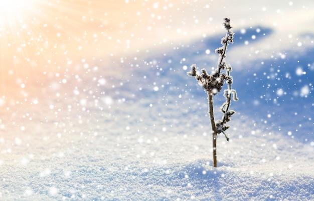 Mooi abstract contrastbeeld van droge wildflowerinstallatie die met vorst wordt behandeld die zich alleen in glasheldere witte blauwe sneeuw op leeg gebied op heldere zonnige dag bevinden. stuk en schoonheid van de natuur in de winter.
