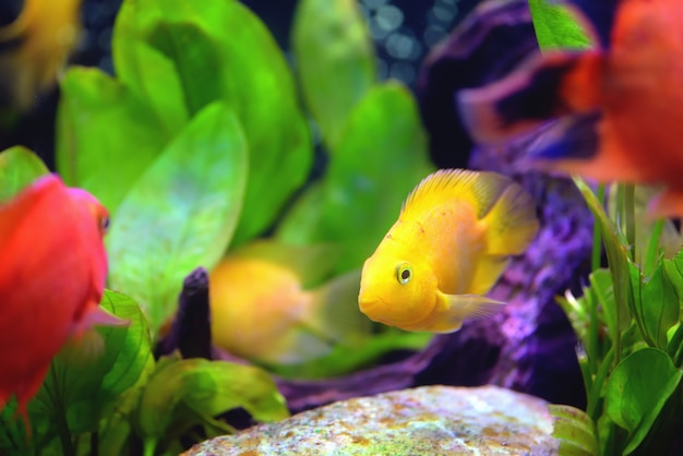 Mooi aquarium met bloedpapegaai cichlid