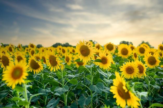 Mooi beeld van een veld met zonnebloemen op de achtergrond van de hemel tijdens zonsondergang.