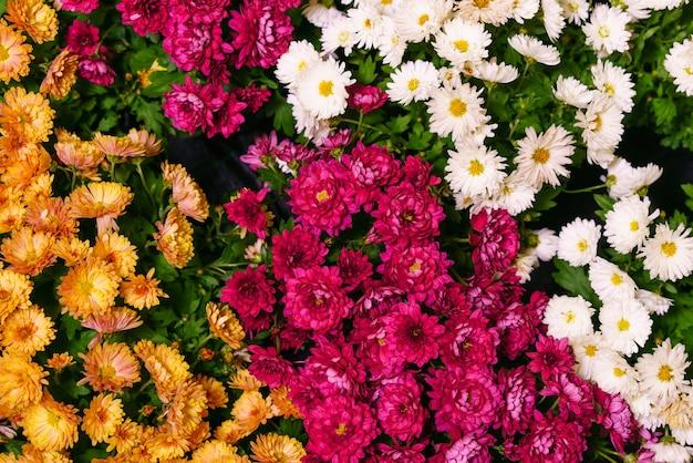 Mooi behang van verschillende kleuren chrysant natuur herfst bloemen achtergrond chrysant...