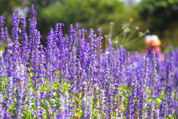 Mooi bloeiend purper salvia (blauw wijs) bloemgebied in openluchttuin.