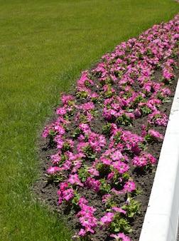 Mooi bloembed van roze petunia en gazon van groen gras, concept landschapsontwerp