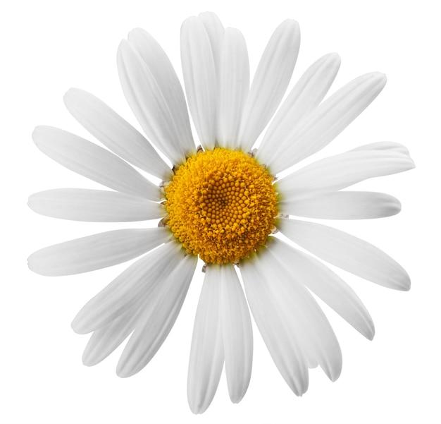 Mooi bloemmadeliefje op witte achtergrond. uitknippad