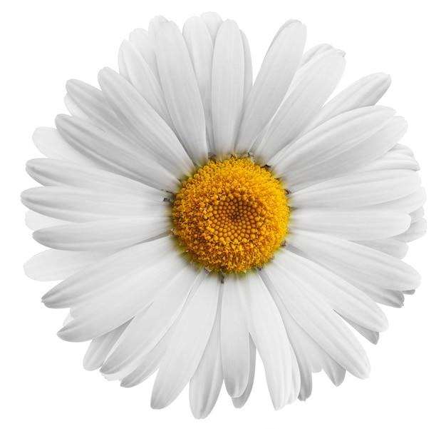 Mooi bloemmadeliefje op witte achtergrond