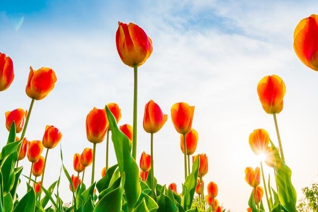 Mooi boeket tulpen in het voorjaarseizoen.