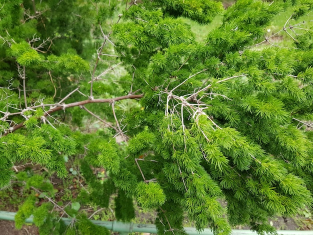 Mooi close-upschot van de boom van de vijverpijnboom met groene bladeren in het bos