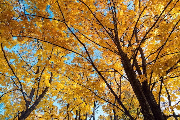 Mooi de herfstlandschap met gele bomen, groen, zon en blauwe hemel