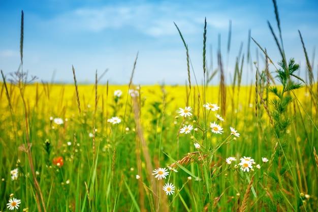 Mooi de zomergebied met gele bloemen en madeliefjes.