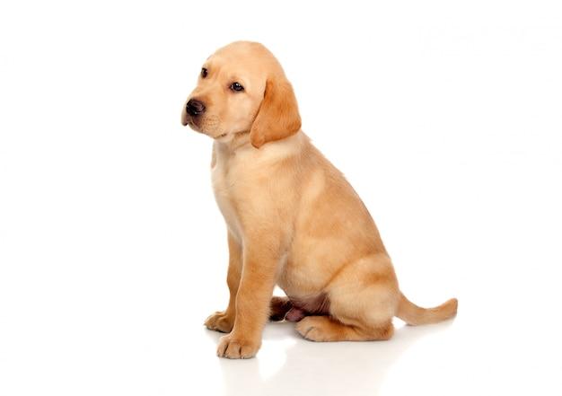 Mooi die labrador retriever-puppy op witte achtergrond wordt geïsoleerd