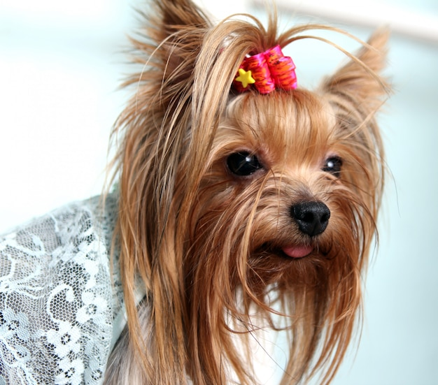 Mooi en schattig york terrier hond