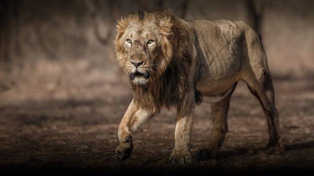 Mooi en zeldzaam aziatisch leeuwmannetje in de aardhabitat in het nationale park van gir in india