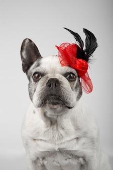 Mooi frans buldogwijf dat rood hoedenhoofddeksel met zwarte veren op witte achtergrond draagt.