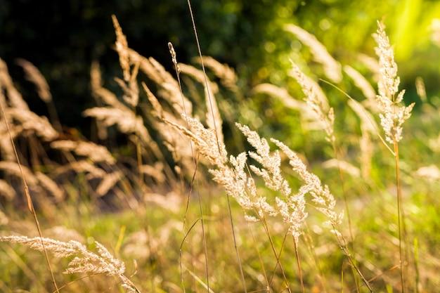 Mooi geel gras verlicht door zonlicht schijnt door de zon, close-up in de herfst