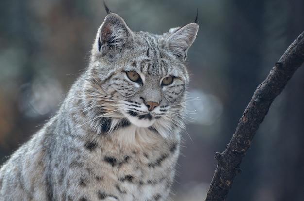 Mooi gezicht van een bobcat in het wild van dichtbij en persoonlijk.