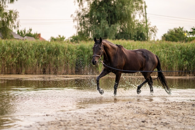 Mooi goed verzorgd donker paard voor een wandeling langs het meer, een paard loopt op water, kracht en schoonheid