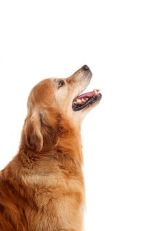 Mooi golden retriever-hondenras
