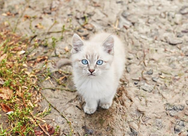 Mooi grijs katje met blauwe ogen. pet. dierenasiel. verlaten kat. verdwaald triest kitten op straat na regen. concept van het beschermen van dakloze dieren.