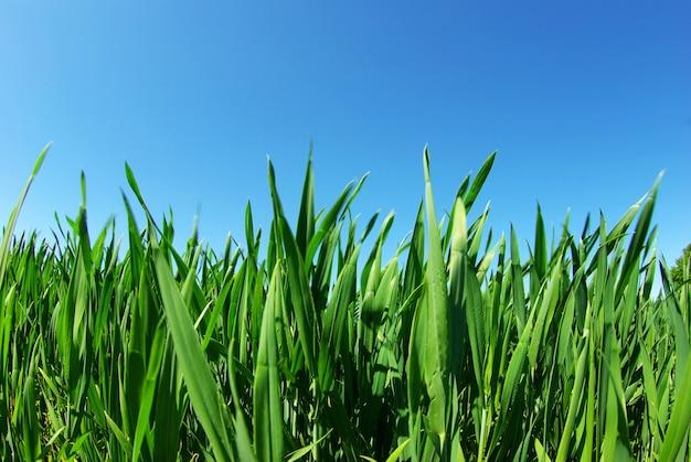 Mooi groen gazon geïsoleerd op sky