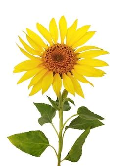 Mooi hoofd van zonnebloem en vage bladeren die op witte achtergrond worden geïsoleerd.