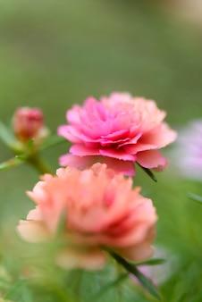 Mooi klein roze bloemveld met zachte pastelkleurachtergrond in zonnige dag, gewone postelein