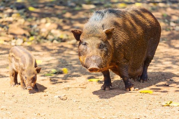 Mooi klein varken. chinees nieuwjaar 2019. zodiac pig