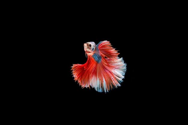 Mooi kleurrijk van siamese bettavissen