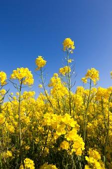 Mooi landschap met geel koolzaad veld tegen de blauwe hemel in het voorjaar