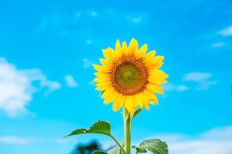 Mooi landschap met zonnebloemgebied over bewolkte blauwe hemel en heldere zonlichten