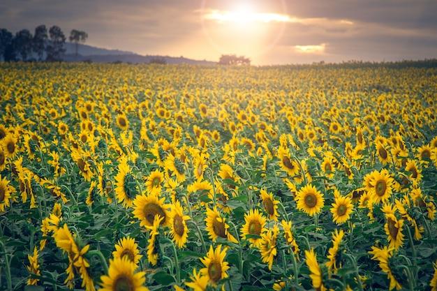 Mooi landschap met zonnebloemgebied