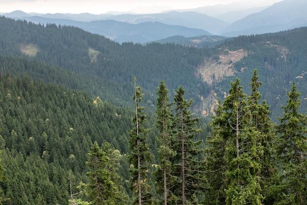 Mooi landschap van de boom het karpatische bergen van de pijnboom