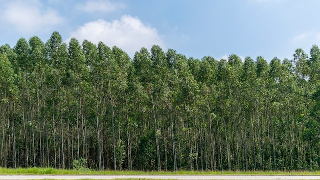 Mooi landschap van eucalyptusplantage
