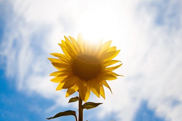 Mooi landschap van gele bloemen van een zonnebloem