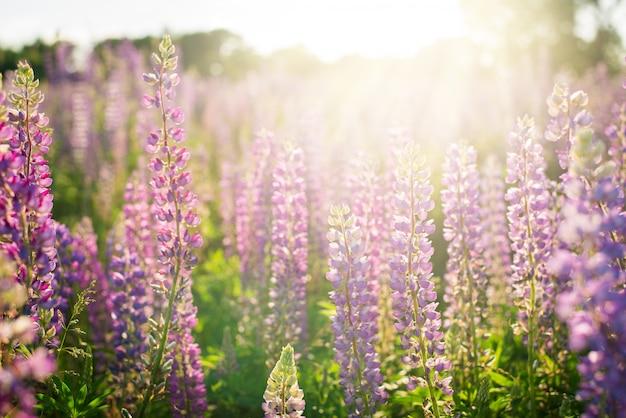 Mooi landschap van lupine, lupinebloemen op gebied tegen het plaatsen van zon in de zomer