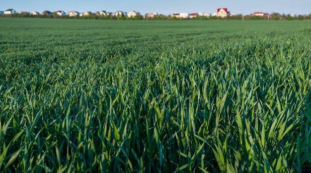 Mooi landschap van onrijpe tarwe groene velden. close-up focus van groene bladeren en zonlicht