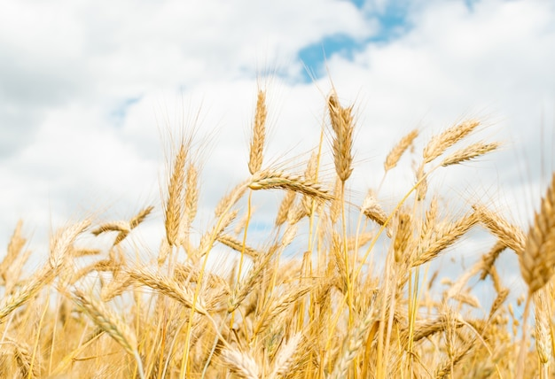 Mooi landschap van tarweveld met rijpende oren