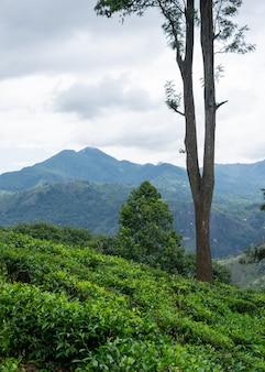 Mooi landschap van theeplantages met bergen op de achtergrond
