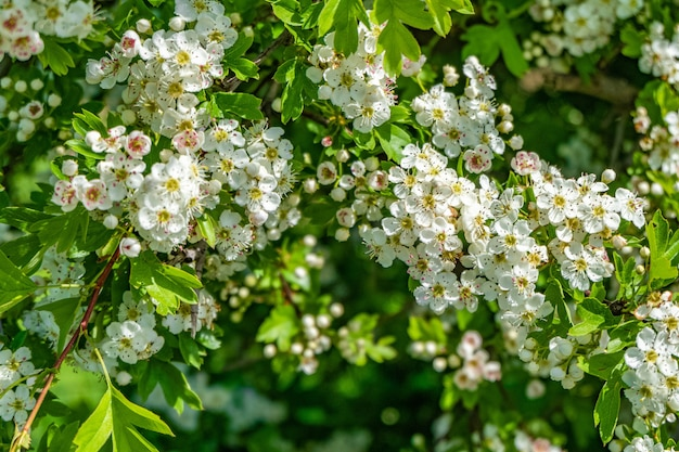Mooi landschap van witte kersenbloesems in een veld overdag
